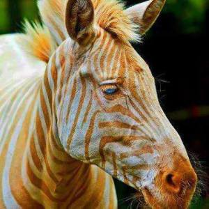golden zebra